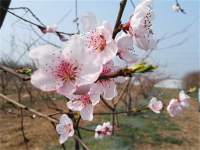 又见三月安徽桃花红